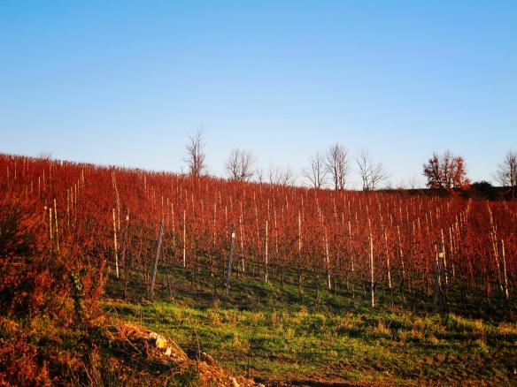 Sagrantino Vines