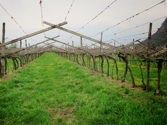 Taber vineyard